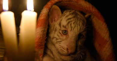 tiger-pic905-895x505-80642